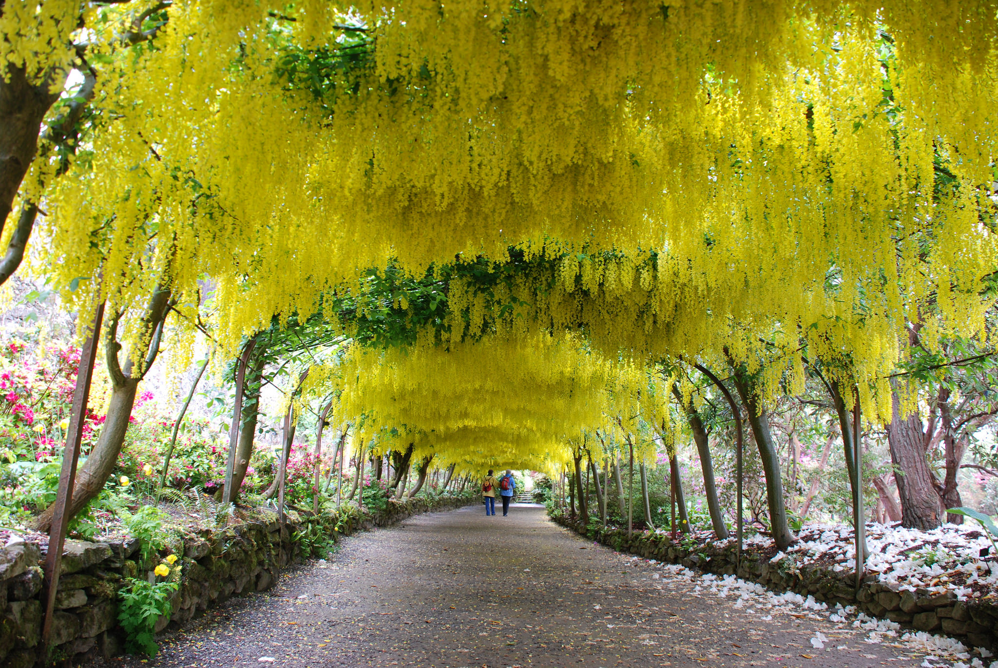 The Laburnum Arch at Bodnant Gardens